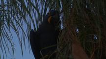 Hyacinth Macaw Pair In Tree Eating
