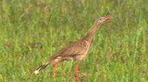 Red-Legged Seriema With Juvenile
