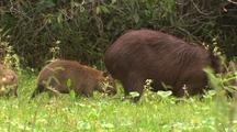 Capybara And Juveniles Forage In Tall Grass
