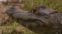 Caiman Lies In Grass, Close-Up Of Head, Pan To Body