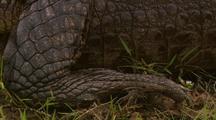 Caiman Lies In Grass, Close-Up Of Feet