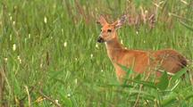 Marsh Deer In Tall Grass