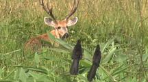 Marsh Deer Buck In Tall Grass, With Birds