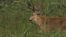 Marsh Deer Buck Walks In Tall Grass