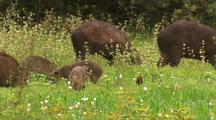 Capybara Family Forages In Tall Grass