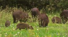 Capybara Family Forages In Grassy Wetland