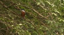 Ringed Kingfisher Grooming, Flies Away