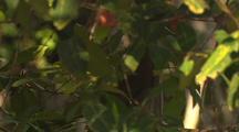 Monkey Feeds In Tree