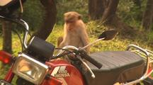 Toque Macaques Play On Motorcycle