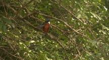 Ringed Kingfisher Grooming, Flies To Branch
