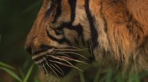 Tiger, Close-Up, Walking