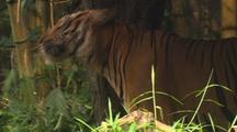 Tiger Rubs On Tree