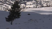 Lone Tree In Snowy Landscape, Bison Herd In Distance