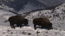 Bison Browse In Snowy Field