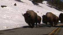 Bison Herd Walks Down Road, Shot From Car