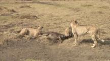 Three Cheetah Brothers, One Killing And Two Eating The Wildebeest