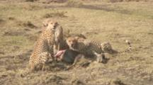 Three Cheetah Brothers, One  Eating The Wildebeest And Two Looking Around
