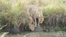 Two Cheetah Brothers Drinking From A Pond While It Is Raining