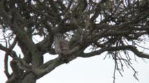 Verreaux's Eagle-Owl Sitting In A Tree