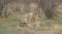Male And Female Lions Mating