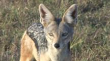 Black-Backed Jackal Looking At The Camera