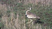 Hartlaub's Bustard Walking
