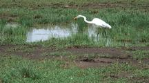 Yellow-Billed Egret Fishing For Food