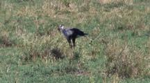 Secretary Bird Hunting For Snakes