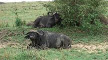 Cape Buffalo Resting