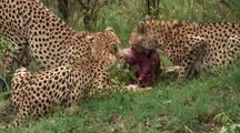 Cheetah Eating Topi