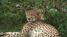 Cheetah Sleeping