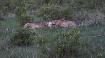 Cheetah Feeding On Topi At Dusk