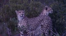 Cheetah Looking For Other Predators That Might Steal Their Kill
