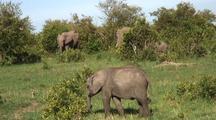 Elephant Herd Grazing In Bushes