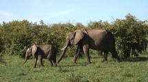 Elephant Herd In Bushes