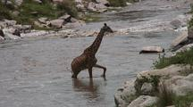 Giraffe Crossing The Talic River