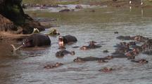 Hippopotamus In Mara River