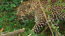 LEOPARDS-Bela,In The Bush