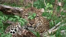 Bela,The Leopard,In The Bush
