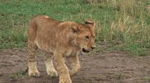 Lion Cub Following Its Mother