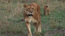 Lion Cubs Following  Mother