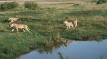 Lions Starting A Hunt