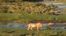 Male Lion At The Talic River