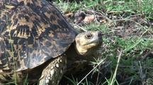 Leopard Tortoise Looking Around