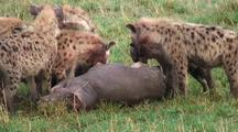 Hyena Eating A Dead Baby Hippo