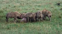 Hyenas Eating A Dead Baby Hippo