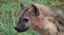Hyena Eating A Dead Baby Hippo