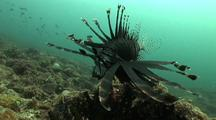 Lionfish From Front