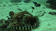 Banded Sea Krait Or Snake Travels Along Bottom