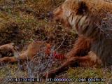 Grizzley Bear, Eating Dead Moose Calf, Predation,